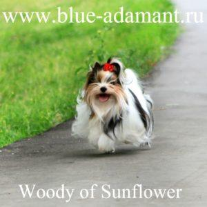 WOODY OF SUNFLOWER