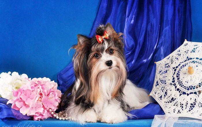 EVA - Biewer Yorkshire terrier