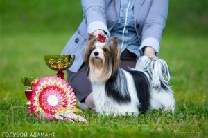 GOLUBOI ADAMANT LEDI DZHEIN in dog-show