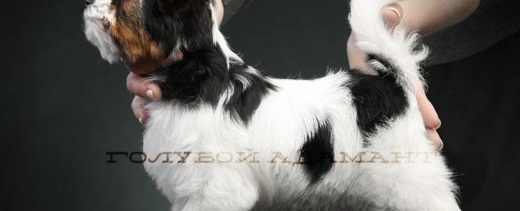 Щенок Бивер-йорка из питомника Голубой Адамант