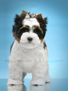 Бивер йоркширский терьер щенок (сука)